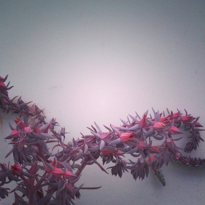 Echeveria_Afterglow_01_2014_