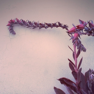 echeveria_afterglow_02_2014