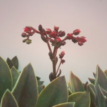 Echeveria Afterglow #3 - 2014