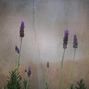 Lavender_01_2014b