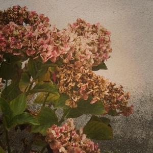 hydrangea_02_2014